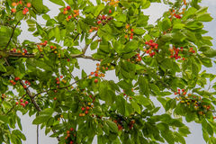 Agriculture - Cherry orchard Royalty Free Stock Photography