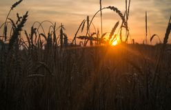 Free Public Domain CC0 Image  Close-up Of Wheat Plant During Sunset ... 73684989b8