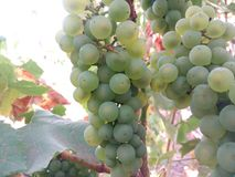 Agriculture, closeup, diet, flowers, food, fresh, fruit, garden, grape, grapes, green, harvest, healthy, leaf, leaves, natural, na. Ripe green bunches of grapes stock images