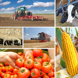 Agriculture - collage. Food production, corn cob, wheat harvest, tractor planting, picking tomato, cows, sheeps royalty free stock photography