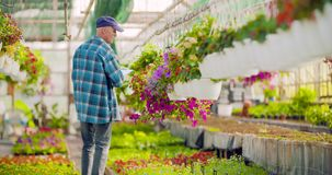 Agriculture confident male gardener examining potted flower plant. Dolly shot of confident mature male gardener examining potted flower plant at greenhouse stock video