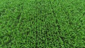 Agriculture. Corn. Aerial