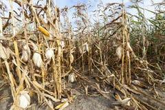 Agriculture, corn closeup Stock Images