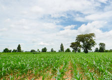 Agriculture, corn, corn seedlings. Royalty Free Stock Photo