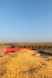 Agriculture, corn crop at trailer after harvest Royalty Free Stock Image