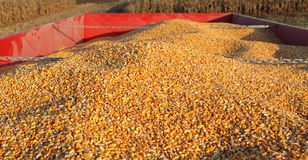 Agriculture, corn crop at trailer after harvest Royalty Free Stock Photo