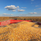 Agriculture, corn crop at trailer after harvest Royalty Free Stock Images