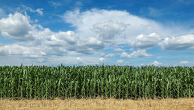 Agriculture, corn field with beautiful sky Stock Images