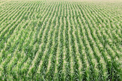 Agriculture, corn field Royalty Free Stock Photography