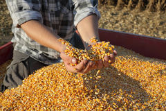 Agriculture, corn harvest, farmer and crop Royalty Free Stock Photo