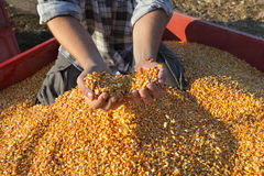 Agriculture, corn harvest, farmer and crop Royalty Free Stock Images