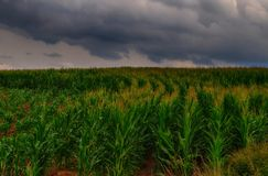 Agriculture corn/maize field and clouds, cloudy sky,  maize plant. Royalty Free Stock Images