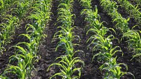 Agriculture, corn plant in field stock footage