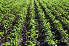 Agriculture, corn plant field Royalty Free Stock Photography