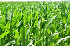 Agriculture corn plants field green plantation Royalty Free Stock Photo