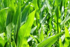 Agriculture corn plants field green plantation Royalty Free Stock Images
