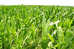 Agriculture corn plants field green plantation Stock Photo