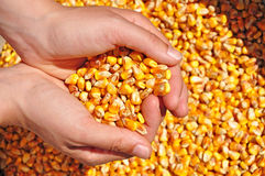 Agriculture corn seeds farmer Royalty Free Stock Images