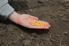 Agriculture, corn sowing Royalty Free Stock Photo
