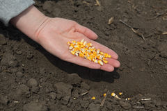 Agriculture, corn sowing Stock Photo