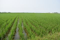 Agriculture, Crop, Paddy Field, Field stock photography