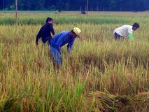 Agriculture, Crop, Paddy Field, Field royalty free stock photography