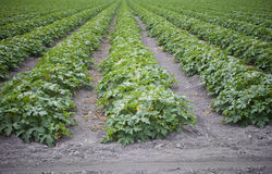 Agriculture Crops. Long rows of a crops on a farm Stock Photography