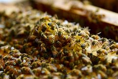 Agriculture d'abeille Images libres de droits