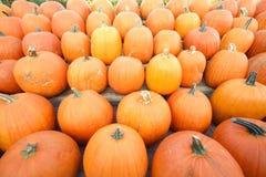 Agriculture d'automne. Lignes des potirons photographie stock
