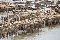 Agriculture d'huître. Photos libres de droits