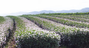 Agriculture dans le jardin de thé en Chiang Rai Photos stock