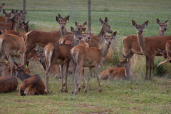 Agriculture de cerfs communs Photos stock