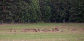 Agriculture de cerfs communs Image libre de droits