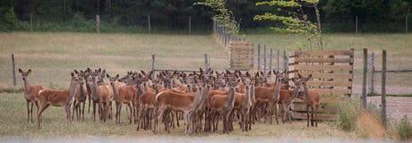 Agriculture de cerfs communs Photographie stock libre de droits