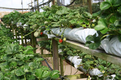 Agriculture de fraise Image libre de droits