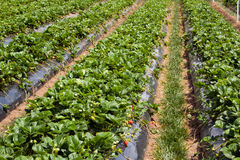 Agriculture de fraise Image stock