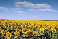 Agriculture de gisement de tournesol Images libres de droits