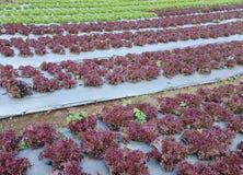 Agriculture de légume de culture hydroponique Images libres de droits