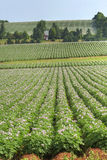 Agriculture de pomme de terre Photos libres de droits