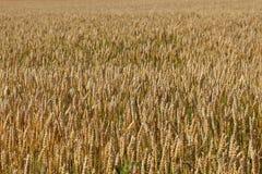 Agriculture de récolte de blé Images libres de droits