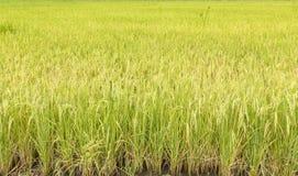 Agriculture de riz Photo stock