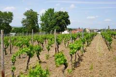 Agriculture de vin dans Rhin-Hesse dans le printemps, Allemagne Photos libres de droits