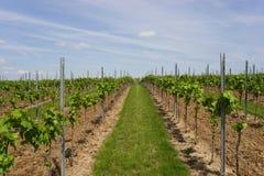 Agriculture de vin dans Rhin-Hesse dans le printemps, Allemagne Photo libre de droits