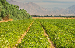 Agriculture in desert area near Eilat, Israel Royalty Free Stock Images