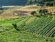 Agriculture in Doi Inthanon National Park royalty free stock images