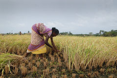 Agriculture en Inde Photo libre de droits