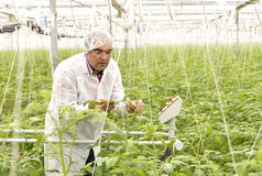 Agriculture engineer. Controling tomato plant royalty free stock images