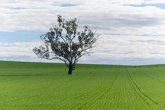 Agriculture. An eucalyptus tree in a field of young cereal crop on undulating land with cloudy sky Stock Photography