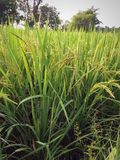 Agriculture farming. Green rice plants stock photography