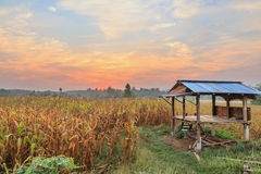 Agriculture farm corn area with sunrise in sky Royalty Free Stock Photo
